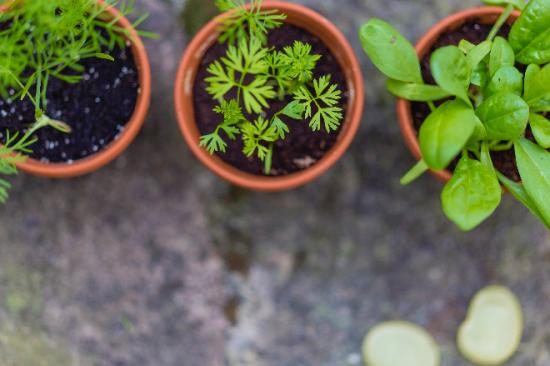 Plantes aromatiques en pot, Tous au Jardin 2020.